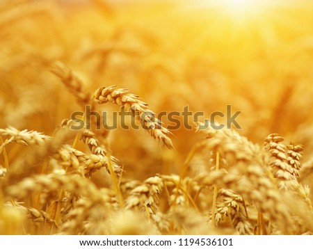 Wheat closeup. Wheat field on sun. Harvest and food concept #1194536101