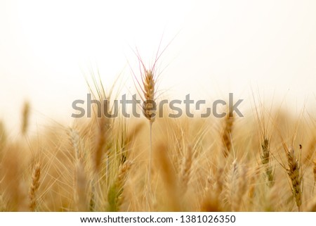 Wheat crop field. Ears of golden wheat close up. Ripening ears of wheat field background. Rich harvest Concept. #1381026350