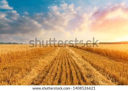 Wheat crop field sunset landscape #1408526621