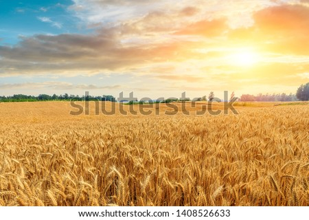Wheat crop field sunset landscape #1408526633