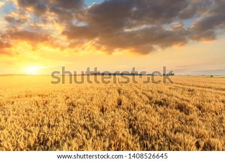 Wheat crop field sunset landscape #1408526645