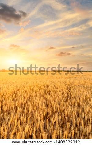 Wheat crop field sunset landscape #1408529912