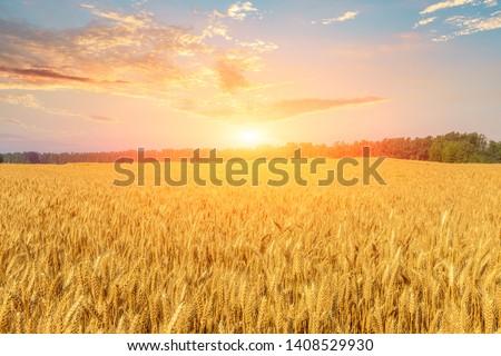 Wheat crop field sunset landscape #1408529930