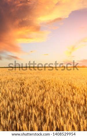 Wheat crop field sunset landscape #1408529954