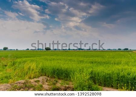 Wheat crop - Green crop #1392528098