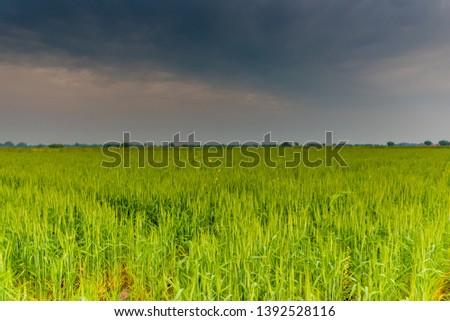 Wheat crop - Green crop #1392528116