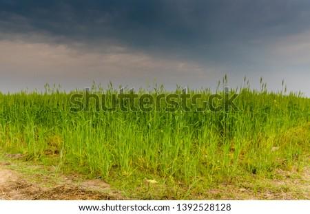 Wheat crop - Green crop #1392528128
