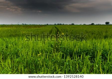 Wheat crop - Green crop #1392528140