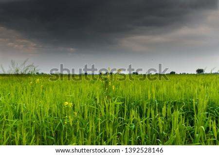 Wheat crop - Green crop #1392528146