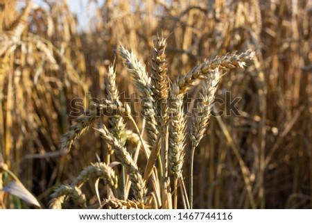 Wheat crops in the field