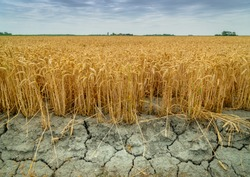 Wheat crops suffer as drought continues. Wheat field with very dry soil. Dry wheat field in the Netherlands. Dutch landscape with 'tarwe' field. Extreme droogte in Zeeland. Agriculture