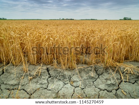 Wheat crops suffer as drought continues. Wheat field with very dry soil. Dry wheat field in the Netherlands. Dutch landscape with 'tarwe' field. Extreme droogte in Zeeland. Agriculture Сток-фото ©