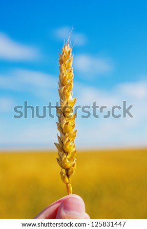 Wheat ear in hand on a background of the blue sky