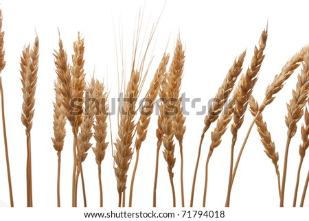 Wheat ears #71794018