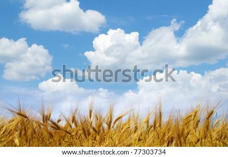 Wheat ears against the blue  sky