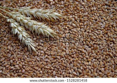 wheat ears and wheat seeds