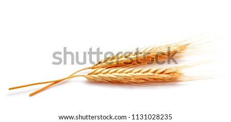 Wheat ears corn isolated on a white background close up #1131028235