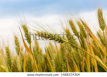 Wheat ears in the wheat field that will be ripened for harvest