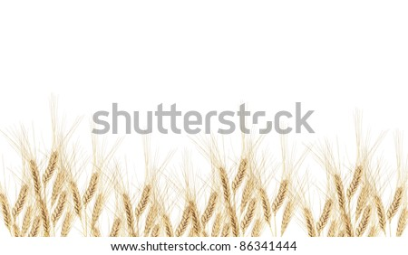 Wheat ears in the white