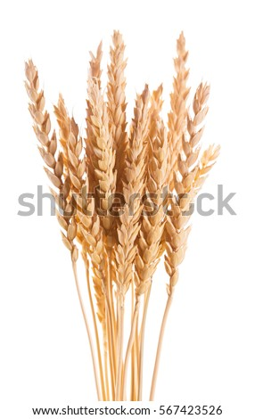 Wheat ears isolated on a white background. #567423526
