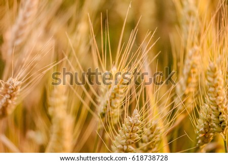 wheat, ears of wheat #618738728