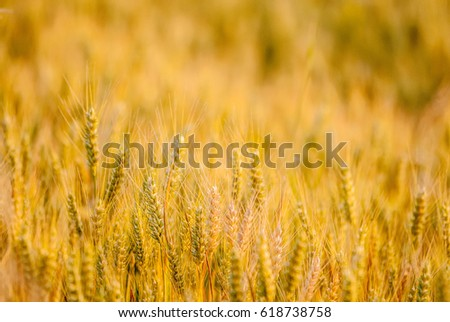 wheat, ears of wheat #618738758