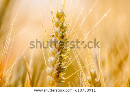 wheat, ears of wheat #618738911