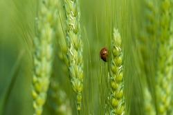 Wheat, ears of wheat, Ladybug on wheat
