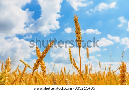 Wheat ears on a background of cloudy sky #383211436