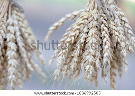 Wheat ears stalks bouquet macro view photo. Shallow depth of field, selective focus #1036992505