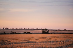 Wheat farmers paddock, in the golden hour of sunset, with tractor tyre marks.After glow of sunlight on a paddock full of wheat stubble, last rays of sunlight.