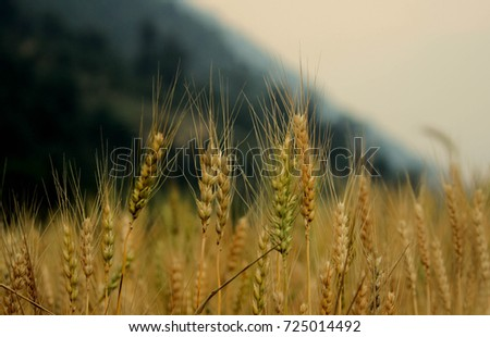 wheat farming #725014492