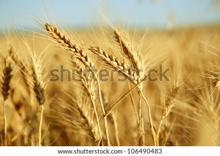 Wheat Field #106490483