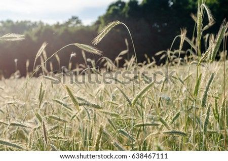 Wheat field #638467111