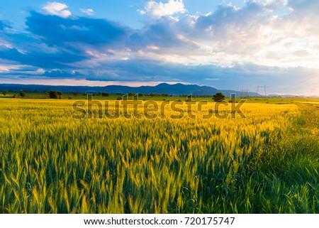 Wheat field #720175747