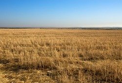 wheat field after harvest, mowed field, empty field with straw after harvest, seasonal farm work