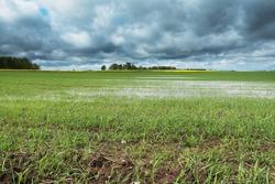 Wheat field after heavy rain in springtime.