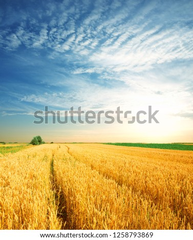 Wheat field against a blue sky  #1258793869