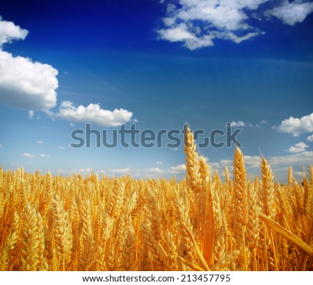 Wheat field against a blue sky #213457795