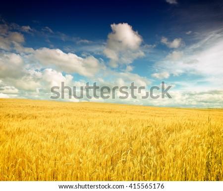 Wheat field against a blue sky #415565176