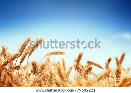 Wheat field against blue sky - stock photo