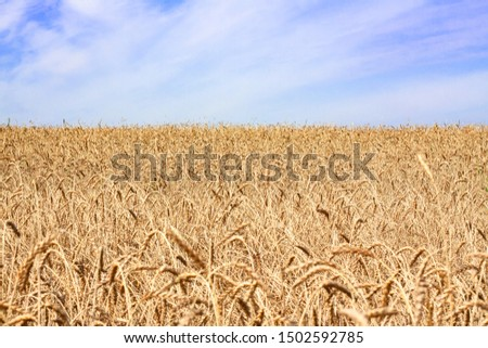 Wheat field against blue sky. Agriculture  theme #1502592785