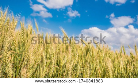 wheat field among the blue sky and clouds