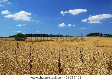 Wheat field and a blue sky full of clouds - panorama
