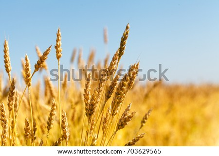 wheat field and blue sky #703629565