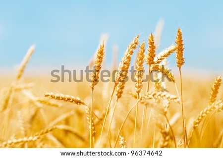 Wheat field and blue sky #96374642