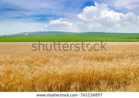 Wheat field and blue sky with light cumulus clouds #765136897