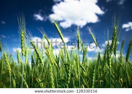 Wheat field and blue sky with white clouds. Agriculture scene