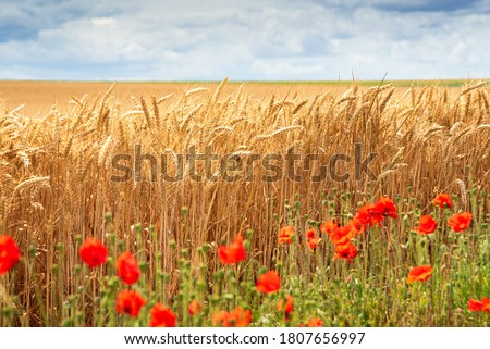 Wheat field and blurry poppy flowers at foreground. France. Ripe cereal spikes before the harvest. Organic agriculture concept. Agriculture background.  Selective focus on wheat.