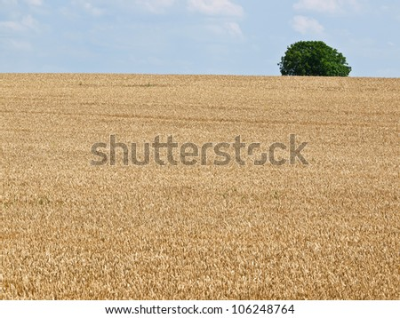 wheat field and green tree on the horizon